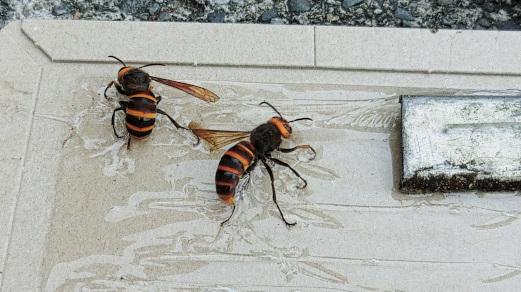 捕獲されたスズメバチ