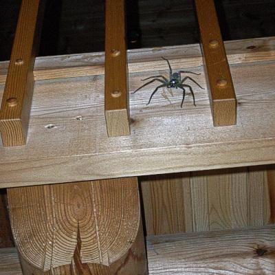 大きなアシダカクモ