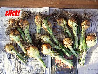 ウッドデッキに広げた収穫したタマネギ